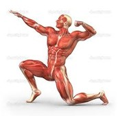 Muscular System Definition