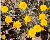 Deserts Marigold