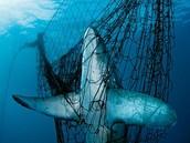 A MAKO SHARK GET STUCK IN A NET
