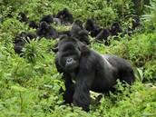 Les gorilles des montagnes