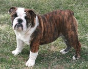 Red brindle bulldog