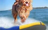 Dog on a surfboard by Billy Lambert