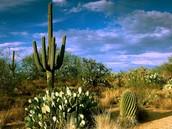 saguaro castus
