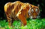 The Indochinese Tiger