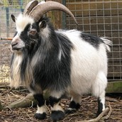 Pygmy Goats Horns