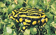 What's the corroboree frogs size