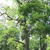 ~WALNUT TREE~