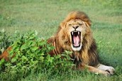 The lion is roaring