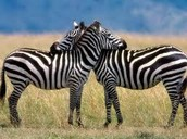 About zebras