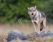 coastal gray wolves