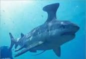 Devonian Shark