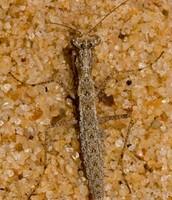 Ground Mantis