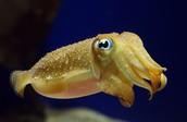 A Baby Octopus