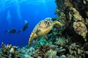 Sea Turtle in a coral reef