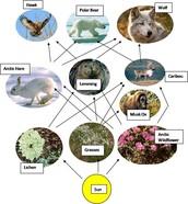 Food Web Of Tundra