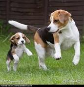 A Beagles Life