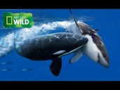 The Killer Whale vs The Great White