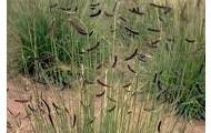 Blue gramma grass
