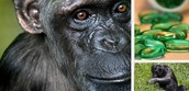Healing Ourselves With The Help of Chimpanzees