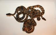 Piton-real (Python regius)