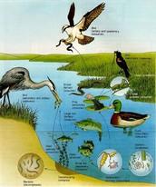 Wetlands Food Web