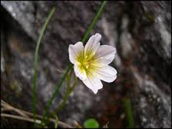 Snowdon Lilies
