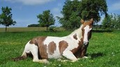 Horse resting in the grass