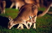 A mother doe with her baby under her