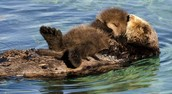 Sea Otters sleeping with mum