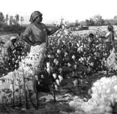 Picking cotton in the fields.