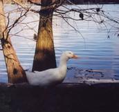 Pond Animal [duck]