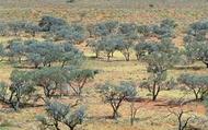 Mulga Tree
