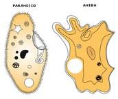 Unicelularidad de los protozoos