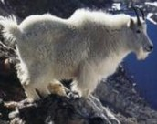 1 Con: Mouse and Mountain Goat