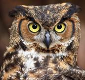 Virtual Owl Pellets