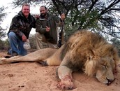 POACHING ON AN AFRICAN LION