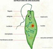 Estructura de una Euglena