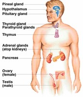 endocrine system and effects