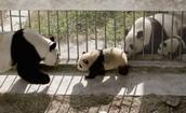 Pandas habtait