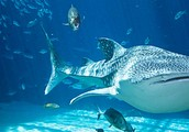 Home of the whale sharks!