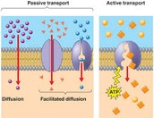 Active and Passive Transport