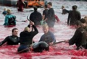 Whale and Dolphin slaughter in the Faroe Islands
