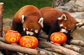 Happy Halloween!-Red Pandas