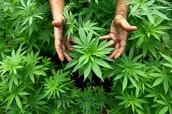 Names for Marijuana (Cannabis)