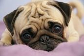 babby pug
