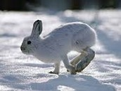 Snowshoe Hare in the Winter