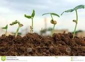 About plant development