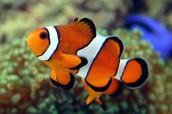 Threes/Fours - Clown Fish