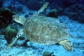 http://www.nmfs.noaa.gov/pr/species/turtles/green.htm