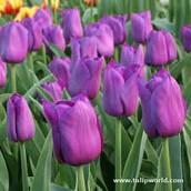 Symbol 1: Tulips